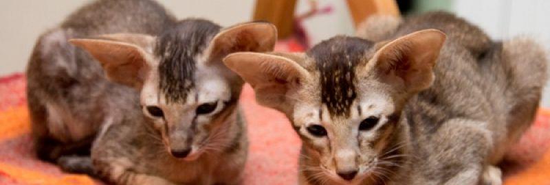 Ориентальные котята питомника Аватар