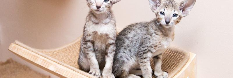 "Kittens cattery oriental cats ""Avatar"", litter N"