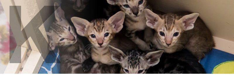 Мраморные ориентальные котята