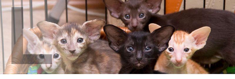 Родились пять замечательных ориентальных котят, все разноцветные, мальчики и девочки :)