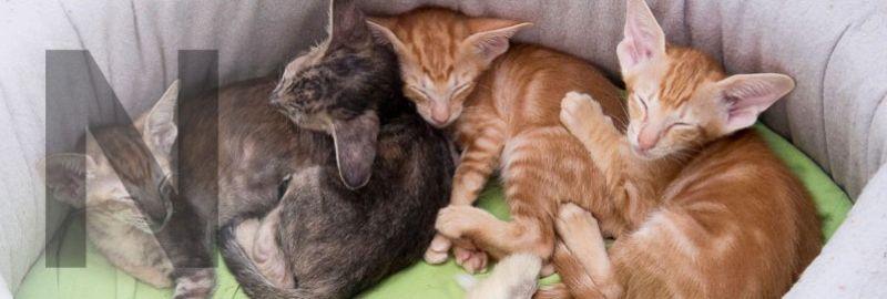 Замечательные ориентальные котята, родившиеся в нашем питомнике. Два рыжих мальчика и две черепаховые девочки.