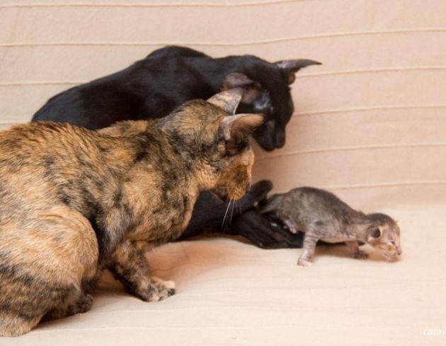Чёрная пятнистая черепаха, ориентальный котёнок, питомник ориентальных кошек в Москве, купить ориентального котёнка.