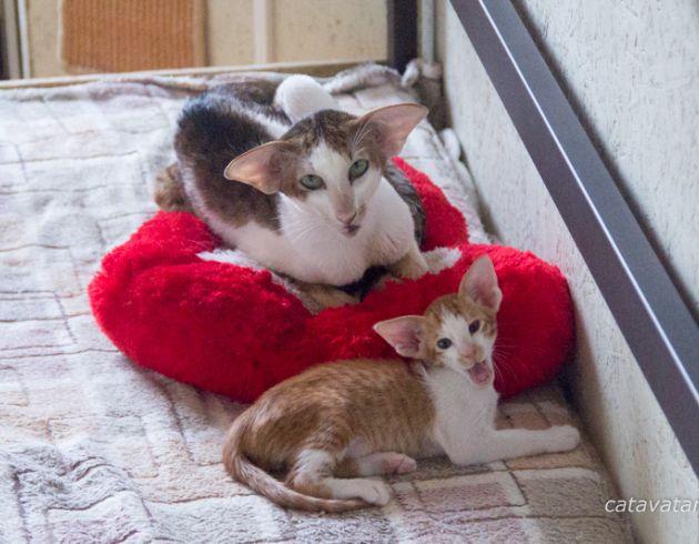 Ориентальный котенок красный пятнистый биколор. Ориентальный котёнок с папой.