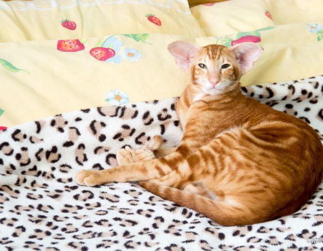 Рыжий ориентальный кот. Питомник ориентальных кошек в Москве. Купить ориентального котёнка. Красный мраморный ориентальный кот. Рассказы о кошках. Фото ориентальных кошек и котят.