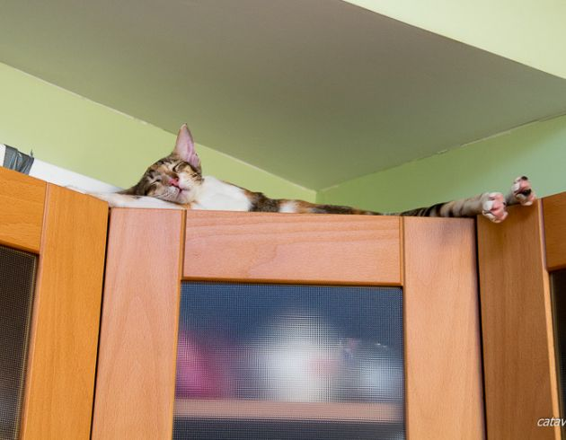 Черная мраморная черепаховая ориентальная кошка. Питомник ориентальных кошек в Москве. Купить ориентального котёнка. Ориентальные котята. Фото ориентальных кошек.