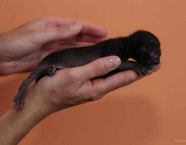 Чёрный ориентальный котёнок