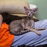 Шоколадная черепаховая пятнистая ориентальная кошка.Питомник ориентальных кошек в Москве. Купить ориентального котёнка.Ориентальные кошки. Ориентальный котёнок. Истории о кошках. Фото ориентальных кошек.
