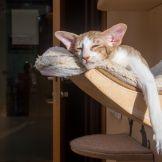 Купить ориентального котенка. Ориентальные кошки. Ориентальные котята. Питомник ориентальных кошек в Москве. Комплексы для кошек. Кошачий комплекс. Когтеточка для кошки. Фото ориентальных кошек.