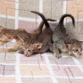 Шоколадный пятнистый ориентальный котенок. Питомник ориентальных кошек в Москве. Купить ориентального котёнка. Ориентальные котята. Фото ориентальных кошек.