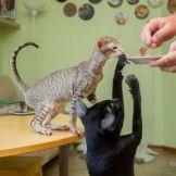 Шоколадный пятнистый ориентальный котенок. Питомник ориентальных кошек в Москве. Купить ориента