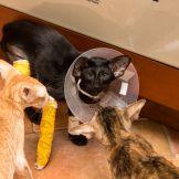 Ориентальная кошка со сломанной лапой