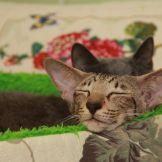 Питомник ориентальных кошек в Москве. Купить ориентального котёнка.Ориентальные кошки. Ориентальный котёнок. Истории о кошках. Фото ориентальных кошек.