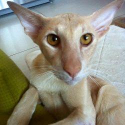 Ориентальный кот, который погибал на улице и которого спасли всем миром.