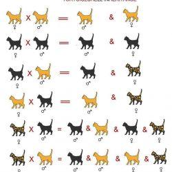 Таблица возможных окрасов, касающаяся не только ориентальных кошек.