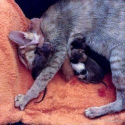 Ориентальная кошка родила котят.
