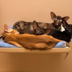 Ориентальные кошки. Игровой комплекс для кошек. Питомник ориентальных кошек в Москве. Ориентальные котята. Купить ориентального котёнка. Фотографии ориентальных кошек и котят. Мастерская мебели для кошек. Комплекс для кошек. Когтеточка. Натуральное кормление.