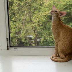 Романтичная ориентальная кошка. Питомник ориентальных кошек в Москве. Купить ориентального котёнка.