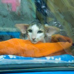Ориентальный кот на выставке кошек. Питомник ориентальных кошек в Москве. Купить ориентального котёнка.Ориентальные кошки. Ориентальный котёнок. Истории о кошках. Фото ориентальных кошек.