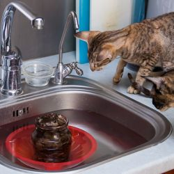 Кошки готовят плов. Питомник ориентальных кошек в Москве. Купить ориентального котёнка.Ориентальные кошки. Ориентальный котёнок. Истории о кошках. Фото ориентальных кошек.