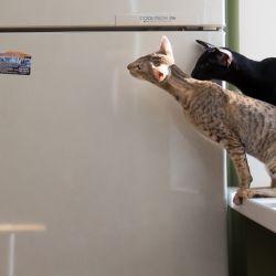 Ориентальные котята. Ориентальные кошки. Питомник ориентальных кошек в Москве. Кошачий питомник. Мебель для кошек.