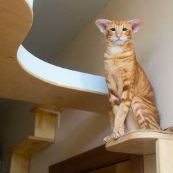 Рыжий ориентальный кот. Питомник ориентальных кошек в Москве. Купить ориентального котёнка. Ориентальные котята. Ориентальные кошки. Фото ориентальных кошек.