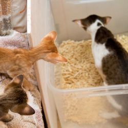 Кот ходит в туалет. Питомник ориентальных кошек в Москве. Купить ориентального котёнка.Ориентальные кошки. Ориентальный котёнок. Истории о кошках. Фото ориентальных кошек.