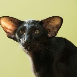 Чёрная ориентальная кошка. Эбони. Питомник ориентальных кошек в Москве. Купить котёнка.Истории и фотографии о жизни кошек.