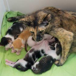 Кошка воспитывает чужого котёнка. Питомник ориентальных кошек в Москве. Купить котёнка.Истории и фотографии о жизни кошек.