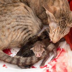 Ориентальная кошка рожает. Питомник ориентальных кошек в Москве. Купить котёнка.Истории и фотографии о жизни кошек.