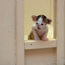 Котёнок первый раз вышел из гнезда. Ориентальные кошки. Питомник ориентальных кошек в Москве. Ориентальные котята. Купить ориентального котёнка. Фотографии ориентальных кошек и котят.