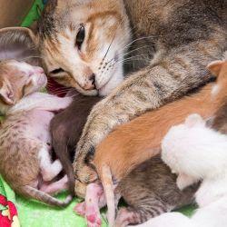Кошка рожает. Питомник ориентальных кошек в Москве. Купить ориентального котёнка.Ориентальные кошки. Ориентальный котёнок. Истории о кошках. Фото ориентальных кошек.