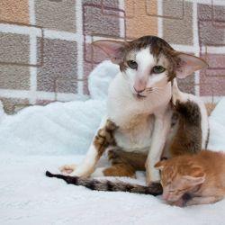 Ориентальный кот папа. Питомник ориентальных кошек в Москве. Купить ориентального котёнка.Ориентальные кошки. Ориентальный котёнок. Истории о кошках. Фото ориентальных кошек.