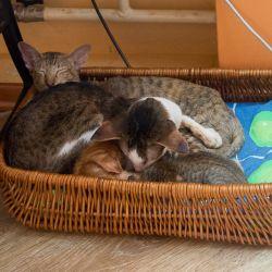 Ориентальный кот хороший отец. Питомник ориентальных кошек в Москве. Купить ориентального котёнка.Ориентальные кошки. Ориентальный котёнок. Истории о кошках. Фото ориентальных кошек.