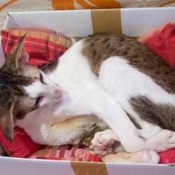 Кот залез в коробку. Питомник ориентальных кошек в Москве. Купить котёнка.Истории и фотографии о жизни кошек.
