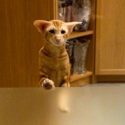 Рыжий ориентальный кот. Питомник ориентальных кошек в Москве. Купить котёнка.Истории и фотографии о жизни кошек.