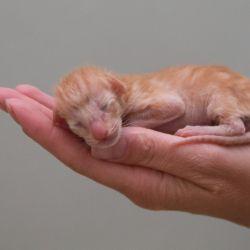 Новорожденный рыжий ориентальный котёнок