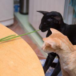 Ориентальные кошки задумали нехорошее...