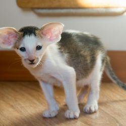 Кошка откусывает усы у котят.Питомник ориентальных кошек в Москве. Купить котёнка.Истории и фотографии о жизни кошек.