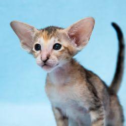 Черепаховая ориентальная кошка питомника Аватар