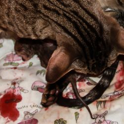Ориентальная кошка рожает
