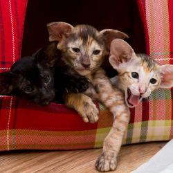 Ориентальные котята выглядывают из домика