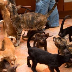 Ориентальные кошки. Питомник ориентальных кошек в Москве. Купить ориентального котёнка.