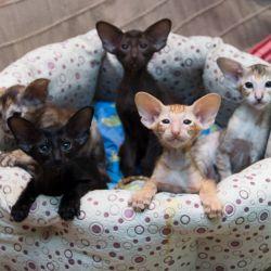 Пять замечательных ориентальных котёнка разных окрасов