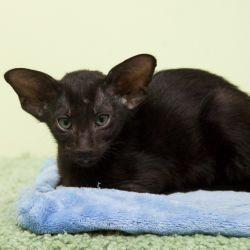 Чёрный ориентальный котёнок.