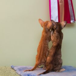 Два ориентальных котёнка завидуют наградам своей мамы