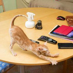 Рыжий ориентальный котёнок на обеденном столе.