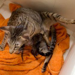 Ориентальная кошка Тёра рожает