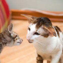 Ориентальный котёнок впервые видит так близко взрослого кота