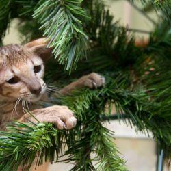 Ориентальные кошки и Новый Год