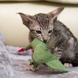 Ориентальные кошки и котята питомника Аватар